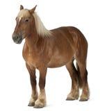 tung häst för belgisk brabancon arkivfoton