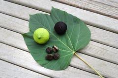 Tung Oil Leaf, fröskida och muttrar Arkivfoton