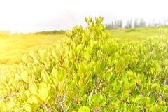 Tung Prong Thong/Mangrove in de Aarddomein van Rayong Thailand Royalty-vrije Stock Afbeeldingen