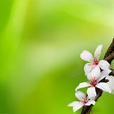 TUNG TREE FLOWER IN May Royalty Free Stock Images