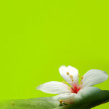 TUNG TREE FLOWER IN May Royalty Free Stock Photos