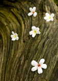 TUNG TREE FLOWER IN May ON THE OLD WOOD Stock Image