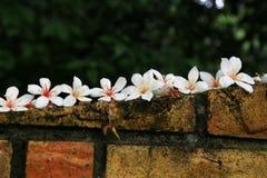 Tung Yu άνθη λουλουδιών Στοκ φωτογραφίες με δικαίωμα ελεύθερης χρήσης