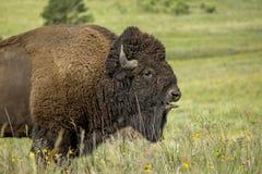 Tunga för bison` s royaltyfri bild