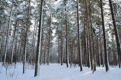 Tungt majestätiskt sörjer trädskogen med snö och den lilla skogvägen arkivfoto