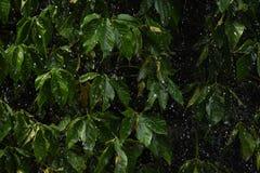 Tungt regna på det gröna bladet arkivbilder