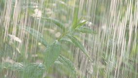 Tungt sommarregn, regndroppar, dekorativt Bush regn sprutar ut stock video