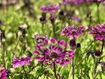 Tunicate kwiaty Obrazy Royalty Free