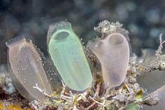 Tunicate underwater off the coast of Bali. Tunicate is a marine invertebrate animal, a member of the subphylum Tunicata, which is part of the Chordata stock image