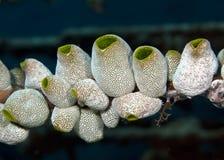 Tunicates Stock Photos