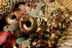 Tunicates Royalty Free Stock Photography