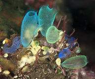 Tunicates feeding Stock Photo