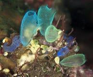 Tunicates feeding Stock Photo