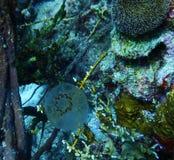 Tunicato pelagico il Bonaire immagini stock libere da diritti