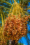 Tunisia, organic dates ripening on the palm tree in the Tunisia Royalty Free Stock Photos