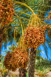 Tunisia, organic dates ripening on the palm tree in the Tunisia Stock Image