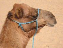 Tunisian camel. In Sahara desert Royalty Free Stock Images