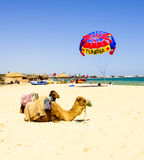 Tunisian camel on the sand. Tourism Stock Photography