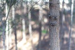 Tunk d'arbre dans une forêt de pin Photo stock