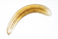 Tunn transversal- skiva av bananen utan peelen Fotografering för Bildbyråer