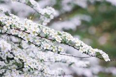 Tunna kvistar av den vita spiraeabusken Royaltyfria Bilder