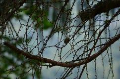 Tunna mörka vinrankor på träd royaltyfria bilder
