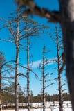 Tunna träd med filialer på bakgrund för blå himmel Arkivfoto