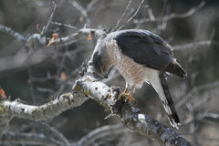 Tunnbindare Hawk Eating Shrew Royaltyfri Foto