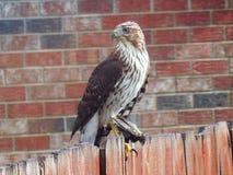 Tunnbindare Hawk With ett nytt byte royaltyfri bild