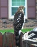 Tunnbindare Hawk Rests på trädgårdstaketet royaltyfri bild