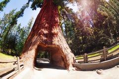 Tunnel attraverso la sequoia nel parco nazionale della sequoia immagini stock