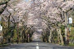 Tunnel av körsbärsröda blomningar i den Izu höglandet Fotografering för Bildbyråer