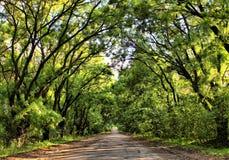 Tunnel av trees Royaltyfria Foton
