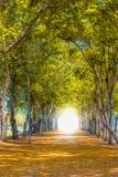 Tunnel av trees Arkivfoto