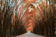 Tunnel bamboo trees and walkway Royalty Free Stock Image