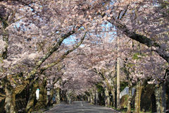 Tunnel of cherry blossoms in Izu highland Stock Images