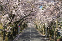 Tunnel of cherry blossoms in Izu highland Royalty Free Stock Photos