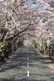 Tunnel of cherry blossoms in Izu highland Stock Photo