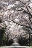 Tunnel of cherry blossoms in Izu highland Royalty Free Stock Photo