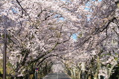 Tunnel of cherry blossoms in Izu highland Stock Photography