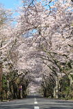 Tunnel of cherry blossoms in Izu highland Royalty Free Stock Photography