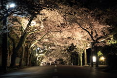 Tunnel of cherry blossoms in Izu highland Stock Photos