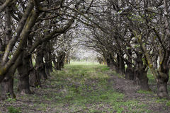 Tunnel of cherry trees blossoming Royalty Free Stock Photography