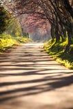 Tunnel de fleurs de cerisier, Image libre de droits