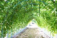 Tunnel dello zucchini, tunnel dell'albero, agricoltura, azienda agricola, riso, agricoltori tailandesi, alatus di Dipterocarpus Fotografia Stock