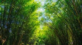 Tunnel di bambù della foresta con le foglie verdi nella foresta pluviale in Asia immagini stock libere da diritti
