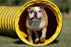 Tunnel-dog Stock Images