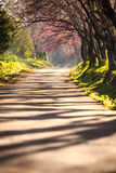 Tunnel för körsbärsröd blomning, Royaltyfri Bild