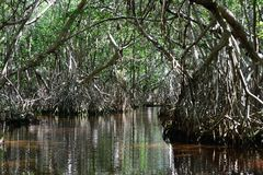 Tunnel i mangrovar Arkivbild