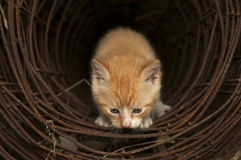 Tunnel Kitten. Kitten looking out of a wire tunnel Royalty Free Stock Image
